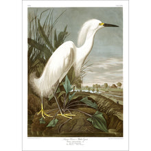 Load image into Gallery viewer, Snowy Heron or White Egret Print by John Audubon