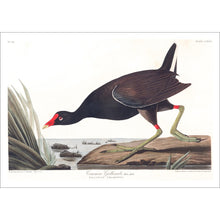 Load image into Gallery viewer, Common Gallinule Print by John Audubon