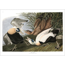 Load image into Gallery viewer, Eider Duck Print by John Audubon