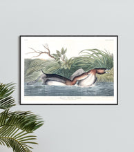 Load image into Gallery viewer, American Pied-Bill Dobchick Print by John Audubon