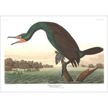 Load image into Gallery viewer, Florida Cormorant Print by John Audubon
