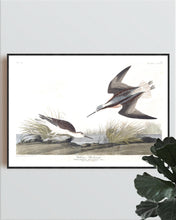 Load image into Gallery viewer, Wilson's Phalarope Print by John Audubon
