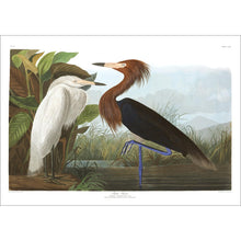 Load image into Gallery viewer, Purple Heron Print by John Audubon