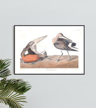 Load image into Gallery viewer, Hudsonean Godwit Print by John Audubon