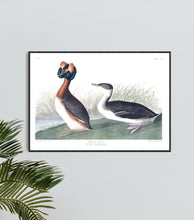 Load image into Gallery viewer, Horned Grebe Print by John Audubon
