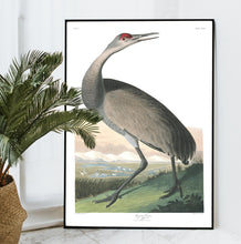 Load image into Gallery viewer, Hooping Crane Print by John Audubon