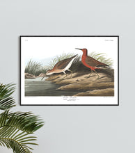Load image into Gallery viewer, Curlew Sandpiper Print by John Audubon