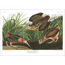 Load image into Gallery viewer, American Woodcock Print by John Audubon