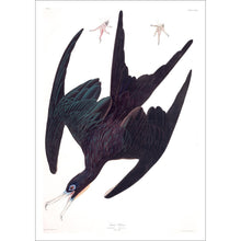 Load image into Gallery viewer, Frigate Pelican Print by John Audubon
