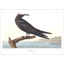 Load image into Gallery viewer, Noddy Tern Print by John Audubon