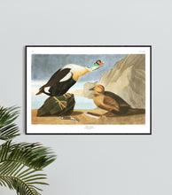 Load image into Gallery viewer, King Duck Print by John Audubon