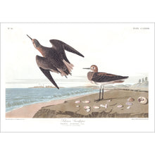 Load image into Gallery viewer, Schinz's Sandpiper Print by John Audubon
