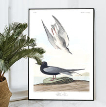 Load image into Gallery viewer, Black Tern Print by John Audubon