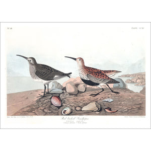 Red Backed Sandpiper Print by John Audubon