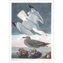Load image into Gallery viewer, Herring Gull Print by John Audubon