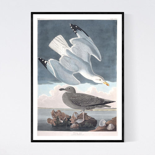 Herring Gull Print by John Audubon