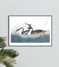 Load image into Gallery viewer, Crested Grebe Print by John Audubon