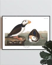 Load image into Gallery viewer, Large Billed Puffin Print by John Audubon