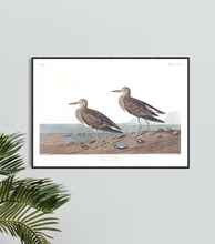 Load image into Gallery viewer, Pectoral Sandpiper Print by John Audubon
