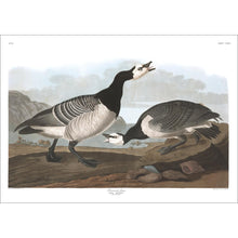 Load image into Gallery viewer, Barnacle Goose Print by John Audubon