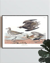 Load image into Gallery viewer, Goldon Plover Print by John Audubon