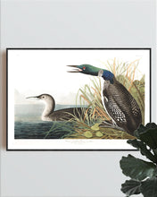 Load image into Gallery viewer, Great Northern Divier or Loon Print by John Audubon