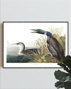 Great Northern Divier or Loon Print by John Audubon
