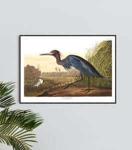 Blue Crane or Heron Print by John Audubon