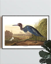 Load image into Gallery viewer, Blue Crane or Heron Print by John Audubon