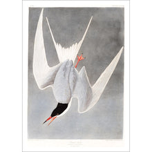 Load image into Gallery viewer, Great Tern Print by John Audubon