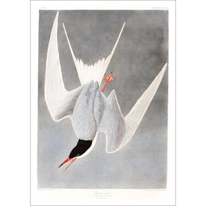 Great Tern Print by John Audubon
