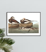 Load image into Gallery viewer, Long-Tailed Duck Print by John Audubon