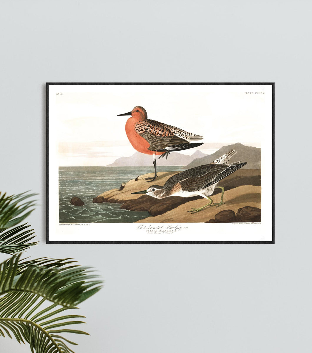 Red-Breasted Sandpiper Print by John Audubon