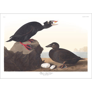 Black or Surf Duck Print by John Audubon