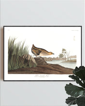Load image into Gallery viewer, Yellow-Breasted Rail Print by John Audubon