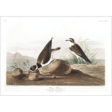 Load image into Gallery viewer, Ring Plover Print by John Audubon