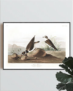 Ring Plover Print by John Audubon
