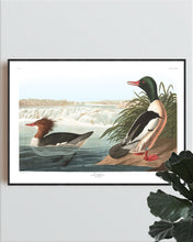 Load image into Gallery viewer, Goosander Print by John Audubon
