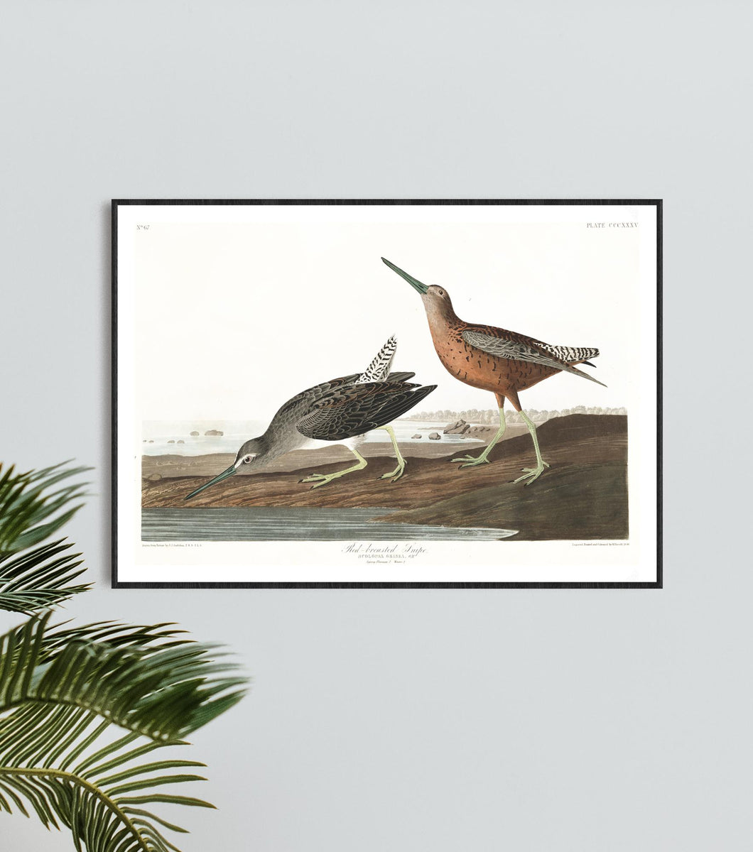 Read-Breasted Snipe Print by John Audubon