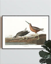 Load image into Gallery viewer, Read-Breasted Snipe Print by John Audubon