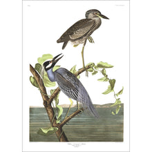 Load image into Gallery viewer, Yellow-Crowned Heron Print by John Audubon
