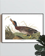Load image into Gallery viewer, Bemaculated Duck Print by John Audubon