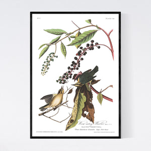 Worm-Eating Warbler Print by John Audubon