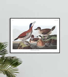 Ruddy Duck Print by John Audubon