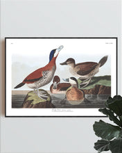 Load image into Gallery viewer, Ruddy Duck Print by John Audubon