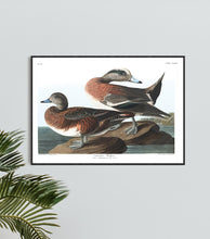 Load image into Gallery viewer, American Widgeon Print by John Audubon