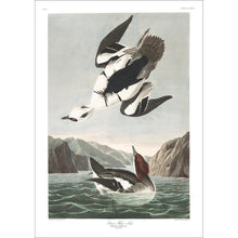 Load image into Gallery viewer, Smen or White Nun Print by John Audubon