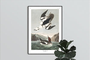 Smen or White Nun Print by John Audubon