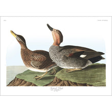 Load image into Gallery viewer, Gadwall Duck Print by John Audubon
