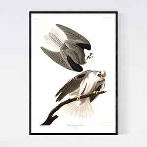 Black-Winged Hawk Print by John Audubon